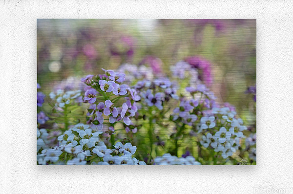 Small Purple Flowers Photograph  Metal print