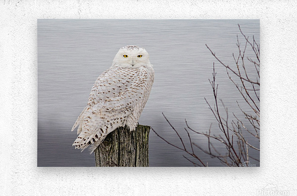 Snowy Owl on the Fence  Metal print