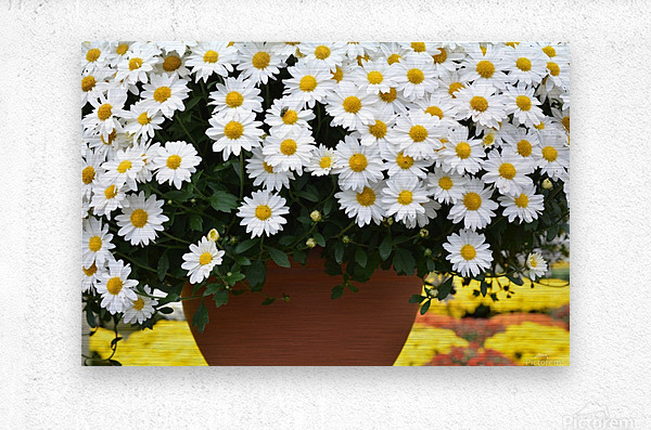 Beautiful White Flowers In A Hanging Basket Photograph  Metal print