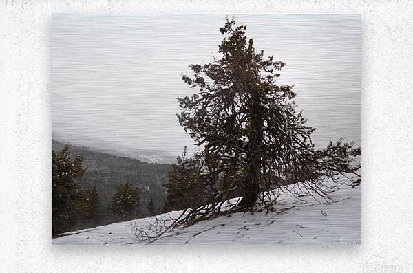 Snowy Mountain Juniper  Metal print