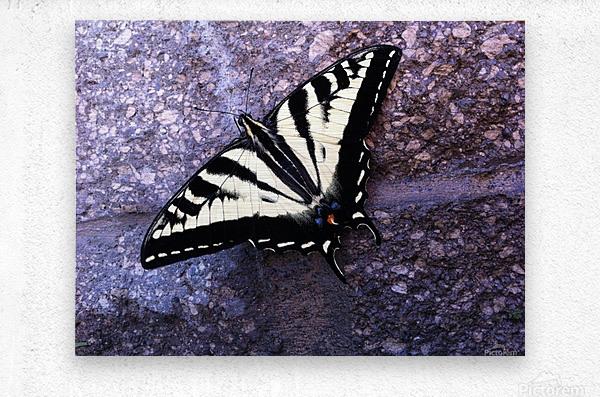 Swallowtail on Stone Wall  Metal print