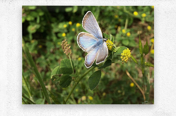 Blue Butterfly on Clover  Metal print