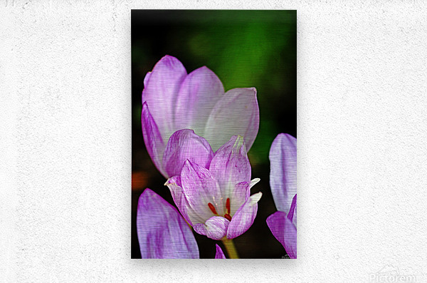 Fall Crocus  Metal print