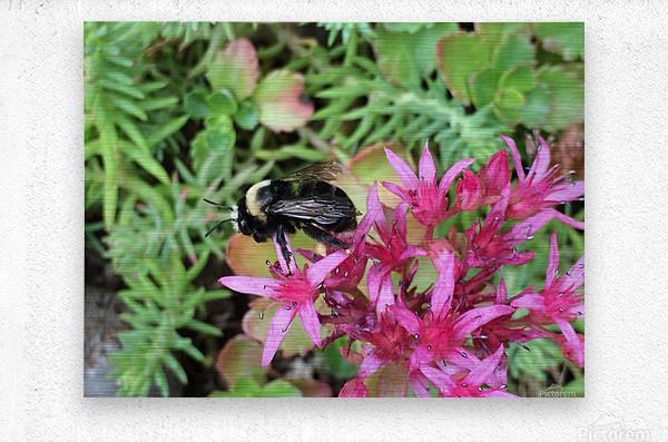 Bumblebee Visitor  Metal print