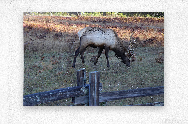 Bowing Elk  Metal print