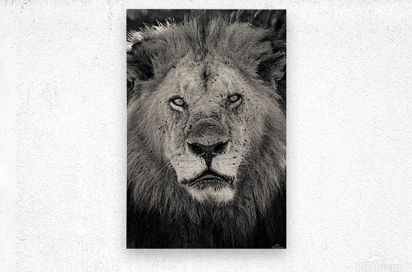 The King of South Africa - 2  Metal print
