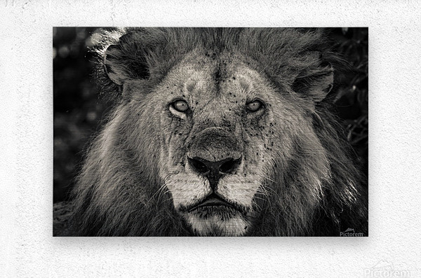 The King of South Africa - 1  Metal print