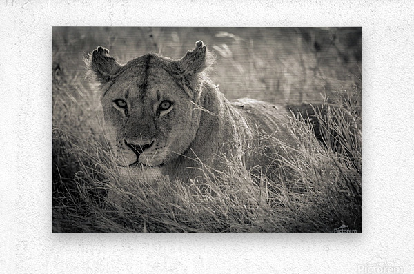 Lioness in the sun  Metal print