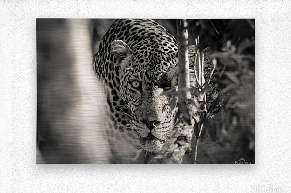 Eyes of the Leopard  Metal print