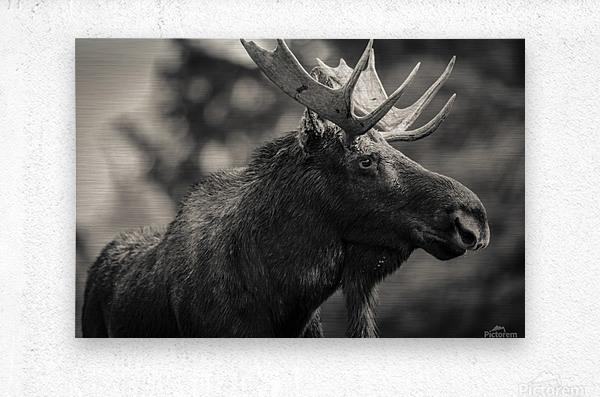 Moose Portrait - 2  Metal print