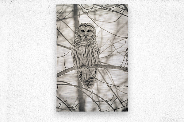 Spotted Owl - 1   Metal print