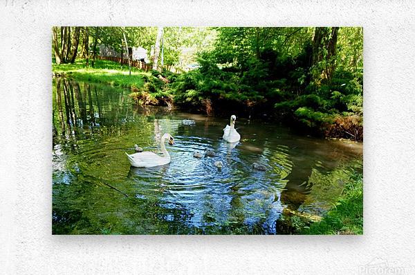 swan 11  Metal print