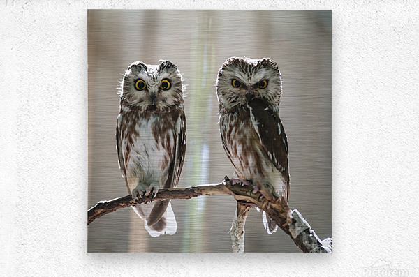 The Odd Couple - color  Metal print