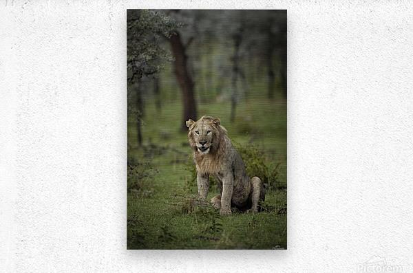 Lion under Rain by www.jadupontphoto.com  Metal print