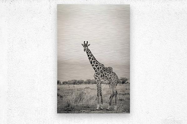 Majestic Giraffe by www.jadupontphoto.com  Metal print