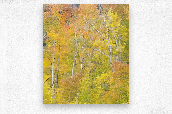 Changing Aspens - Vail Colorado  Metal print
