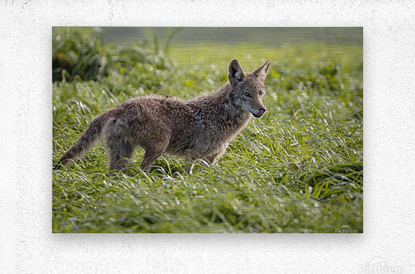 Coyote Pretty  Metal print