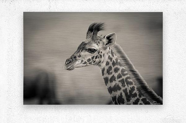 Girafe Calve  Metal print