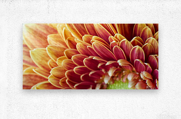 Golden Chrysanthemum  Metal print
