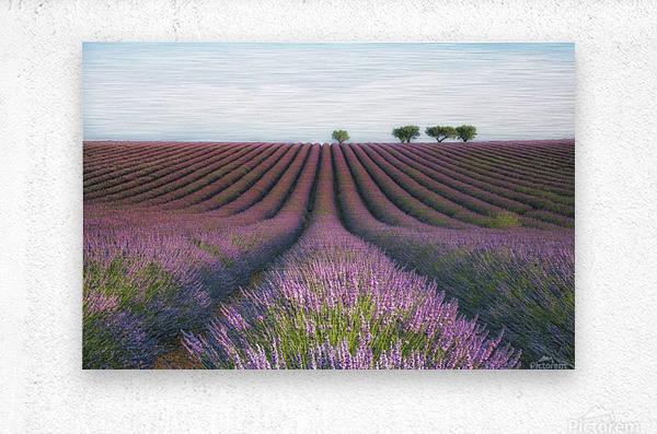 Velours de Lavender  Metal print