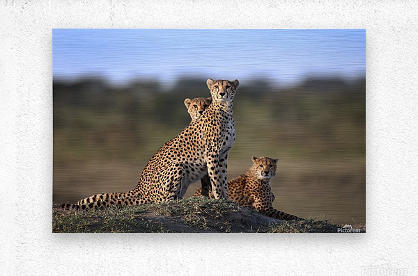 Cheetahs Family  Metal print