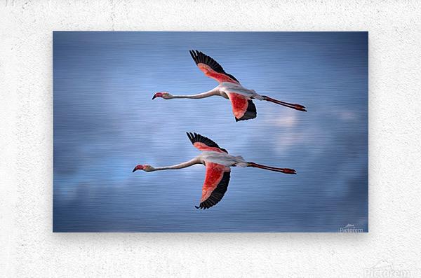 Greater Flamingos  Metal print