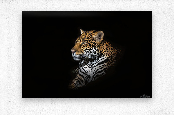Jaguar Portrait  Metal print