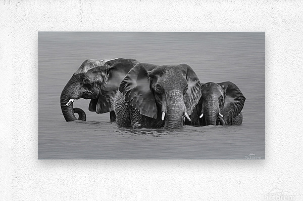 Elephant Crossing The River  Metal print