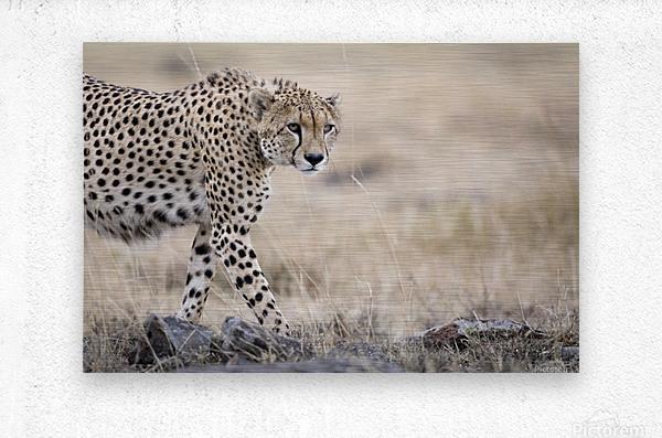 Cheetah Bro  Metal print