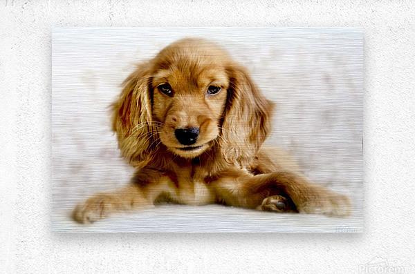 Cute Cocker Spaniel Puppy  Metal print
