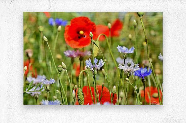 alpine cornflower, cornflowers, flowers, centaurea montana, field of flowers, poppy, composites, flora, wild plant, plant, flower garden, wild flower, garden, flower meadow, petal, meadow, nature,  Metal print