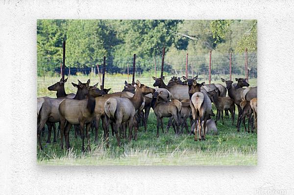 Elk Red Tailed Deer or Wapiti 16  Metal print