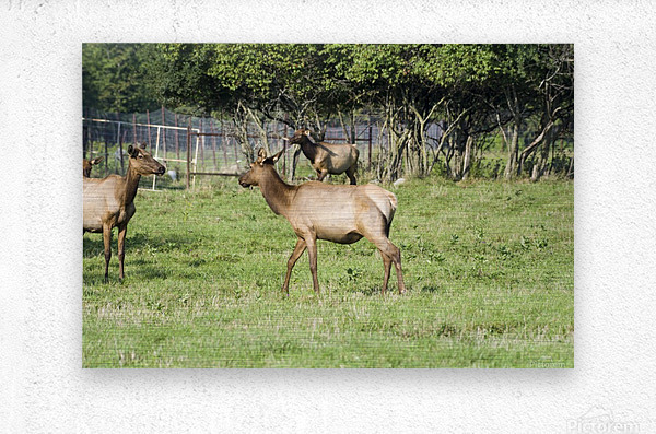 Elk Red Tailed Deer or Wapiti 4  Metal print
