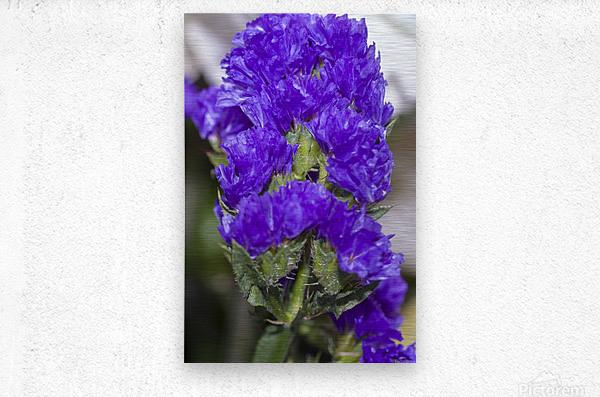 Purple Statice Flower  Metal print