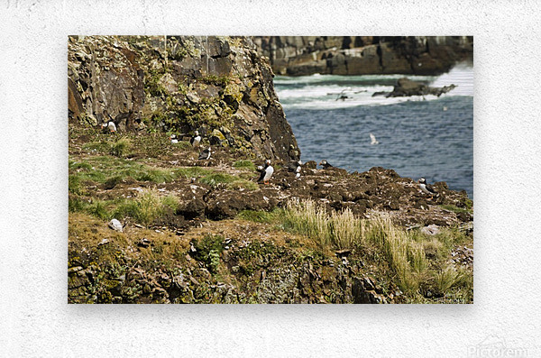 Puffins being puffins 9  Metal print