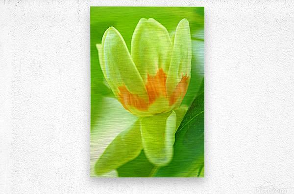 Tulip Poplar Flower  Metal print