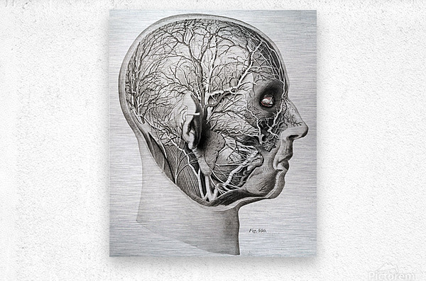 Nerves and Blood Vessels of the Head  Metal print