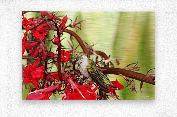 Hummingbird Giving Thanks  Metal print