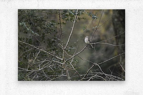 Resting Mockingbird  Metal print