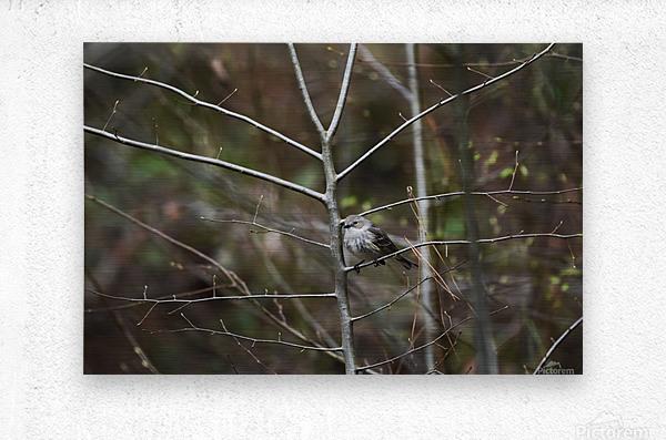 Yellow-rumped Warbler 2  Metal print