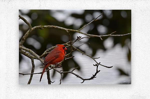 Cardinals 4  Metal print