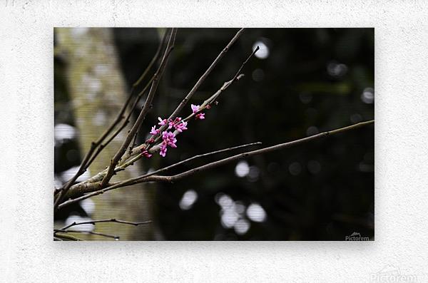 Pink Blossoms  Metal print