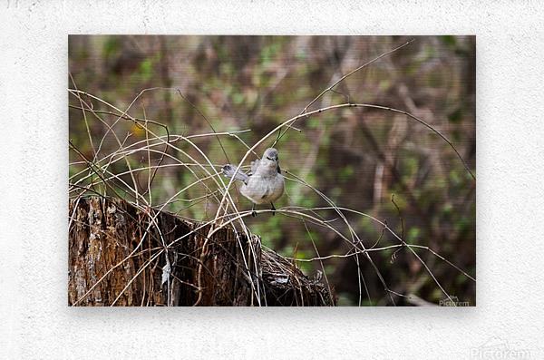 Angry Mockingbird 3  Metal print