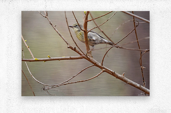 Yellow-rumped Warbler 3  Metal print