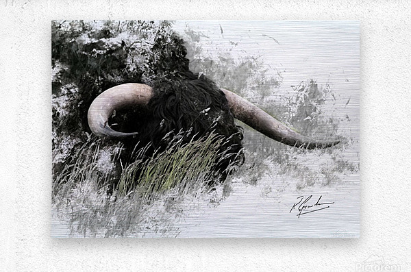 Bull in long grass  Metal print