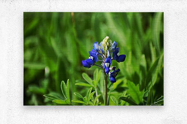 Texas Blue Bonnets  Metal print