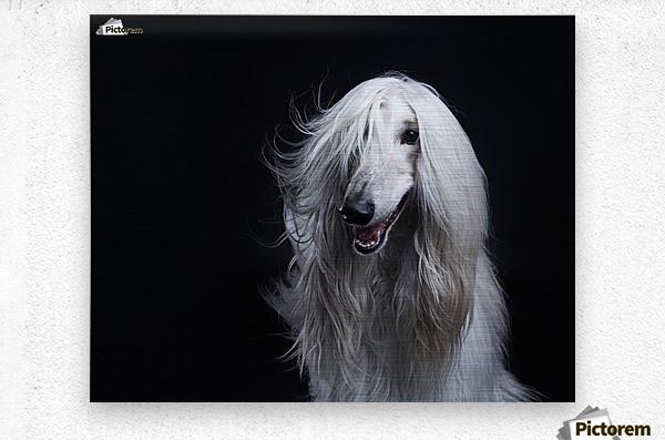 Afghan Hound Portrait  Metal print