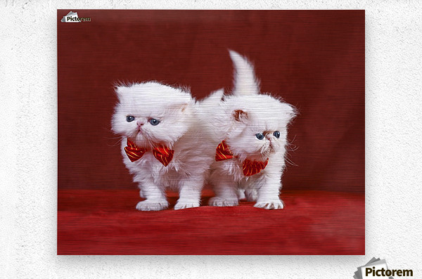 White Persian Kittens with bow ties  Metal print