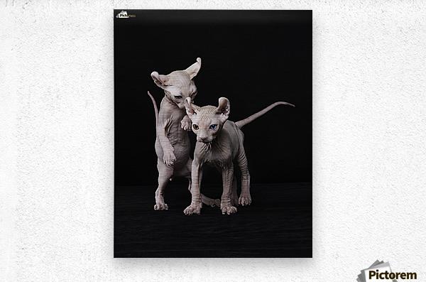 Elf Sphinx kittens  Metal print