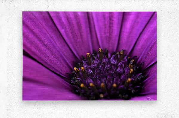 Purple Osteospermum Daisy Photograph Macro  Metal print